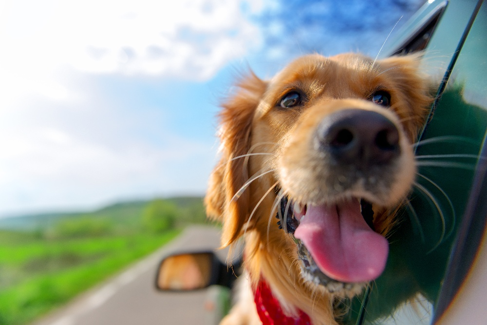 Do I Need to Secure My Dog While Driving in Florida?