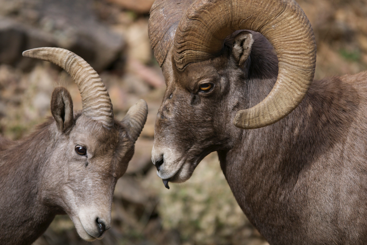 A Market Approach to Bighorn Sheep Conservation in the Northern Rockies
