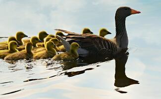 Goose leading and training goslings