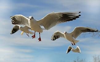 Seagulls off to explore
