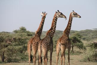 Giraffes all pointing in the same direction