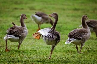 Rude goose kicking its leg up