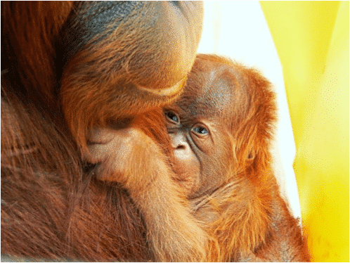 orangutan assisted reproduction