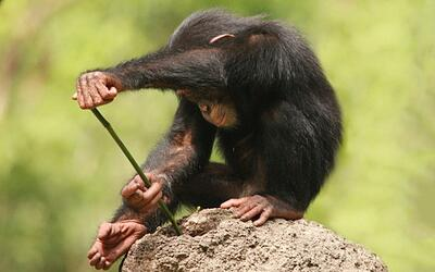 Monkey Using a Tool