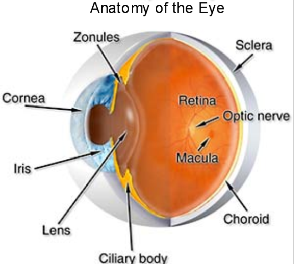 Picture of the eye anatomy