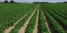 Potato crop yield levels are determined or reduced by several factors.