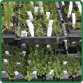 Seedlings Herbs 01