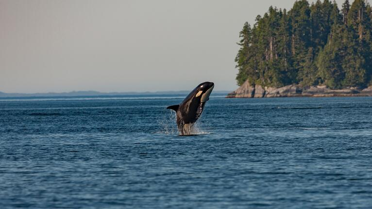 Orca Action Month: Nonprofits Defending the Wild