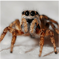 Spider-Macro-Zebra-Spider-631372