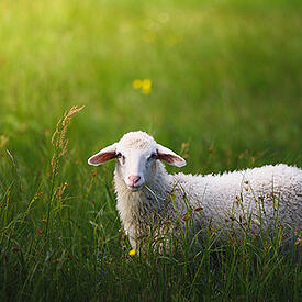 Photo of sheep in farm - Genome Alberta's old system created hours of wasted administrative time