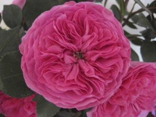Baronesse_Garden_Rose_Boston_Florist.jpg