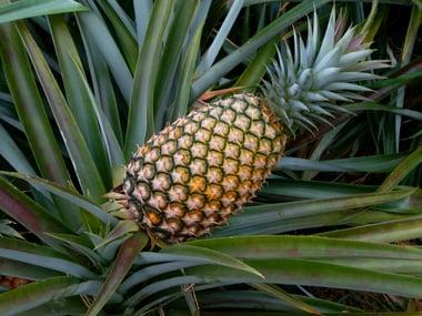 Bromelaine uit ananas is goed voor eiwitsplitsing en blessures en voor je vertering.