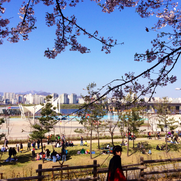 cherry blossoms spring korea