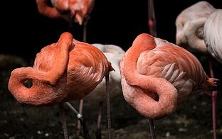 Flamingos hiding their heads