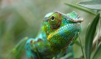 colourful chameleon