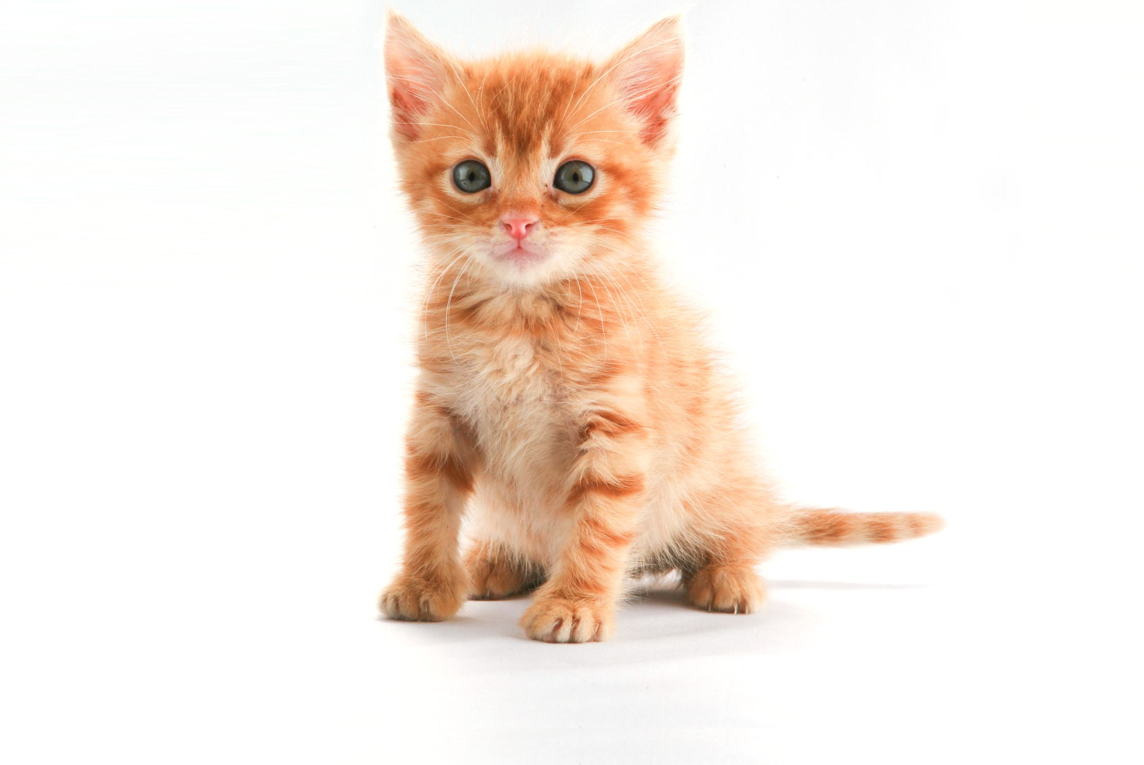 The Little Orange Kitten 753345