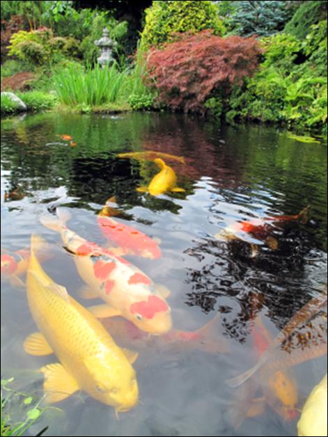 Pondbuilder blog water garden blog pond fish for Koi pond maintenance tips