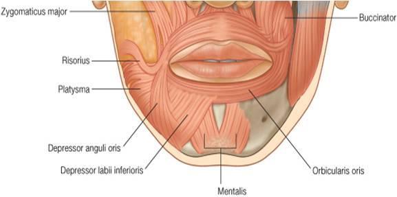 facial muscles depressor group1317340022061