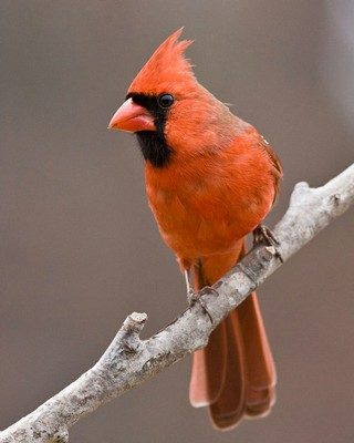 Northern Cardinal by Judy Howle