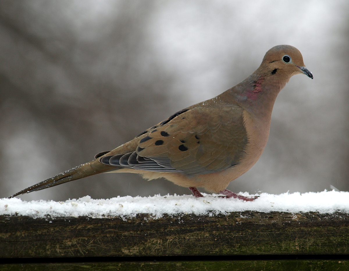 Mourning Dove  The Spruce