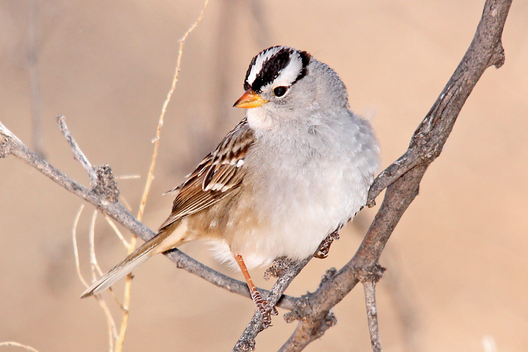 All About Birds: White-crowned Sparrow
