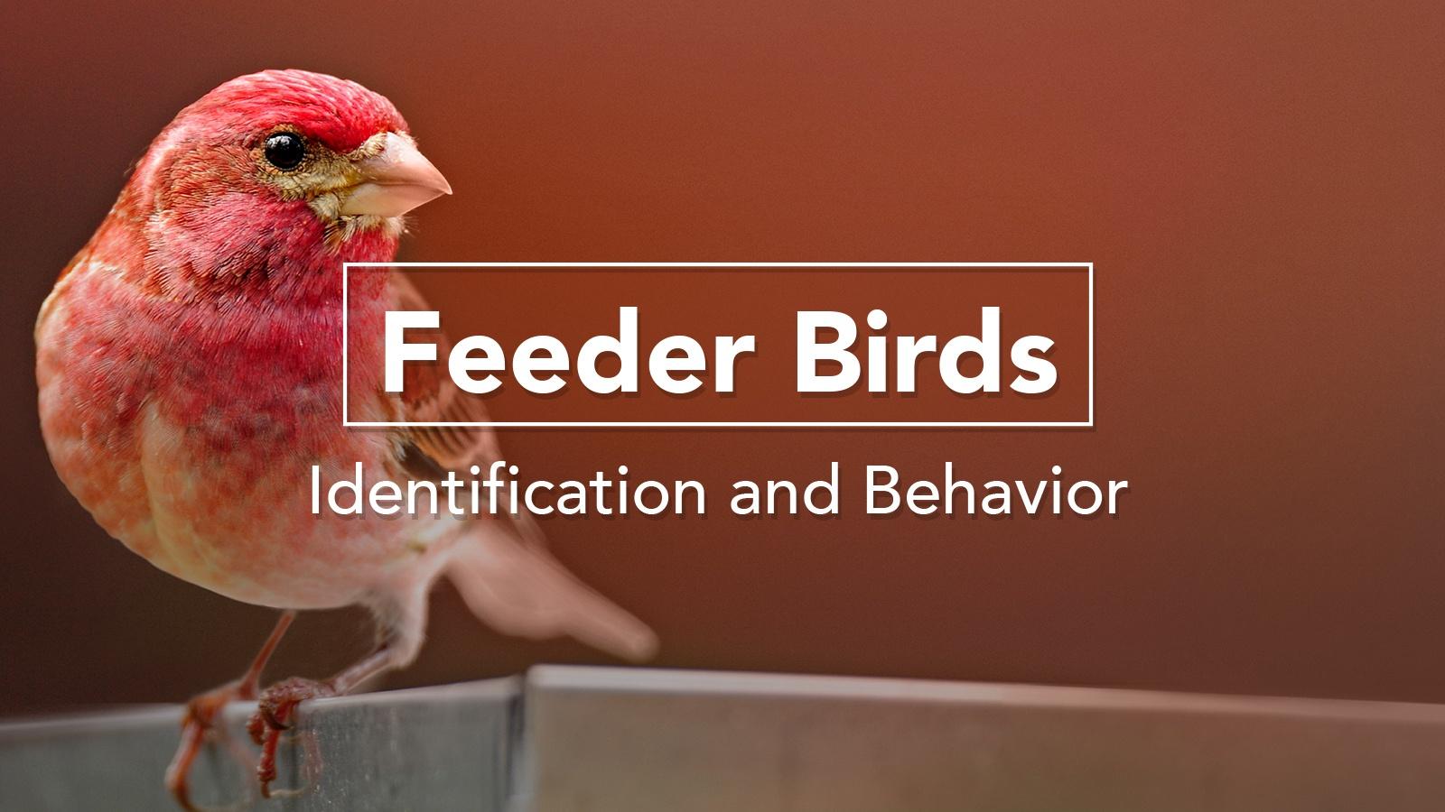Bird Academy-feederbird-coursethumbnail.jpg