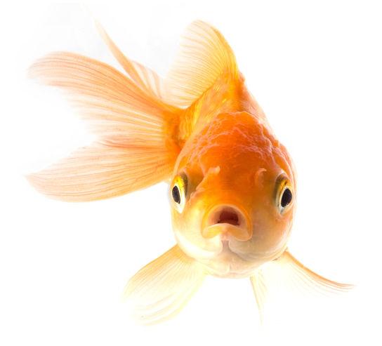 suprised_goldfish