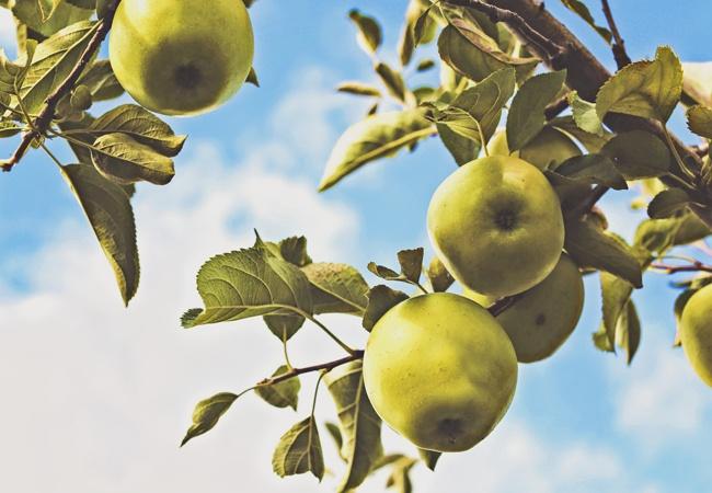 Tempting Fruit