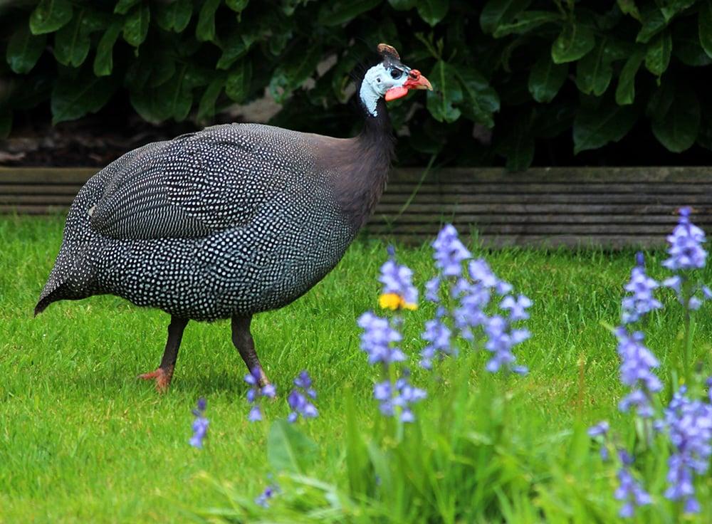 Guinea Fowl 101