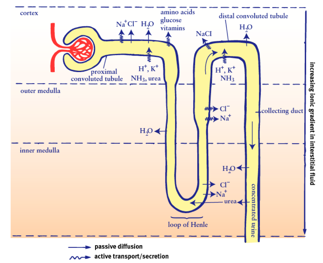 A Comprehensive Break Down of Nephron Functioning into Six ...