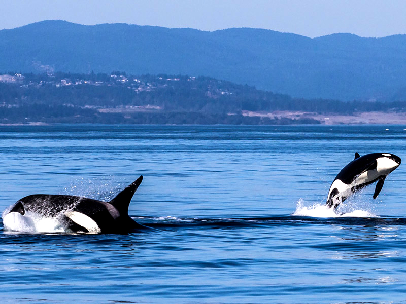 "With a number of pods of ""resident"" killer whales in its surrounding waters, Victoria provides ample opportunity for whale watching."