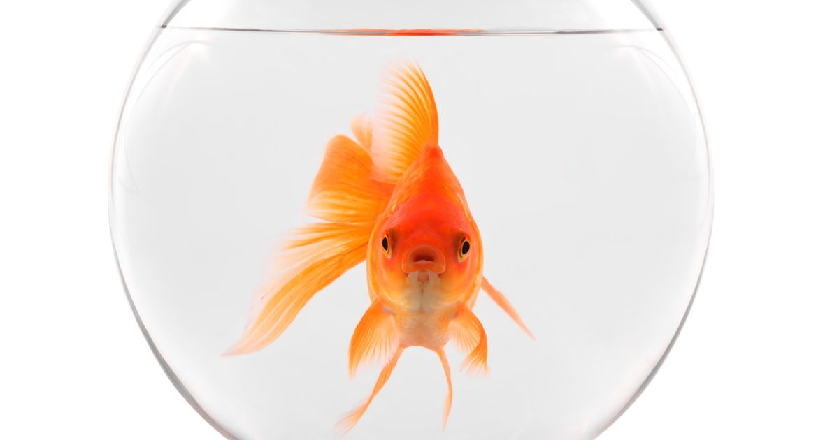 How Silent Auctions help Humans rise above Goldfish - Benefits of ...