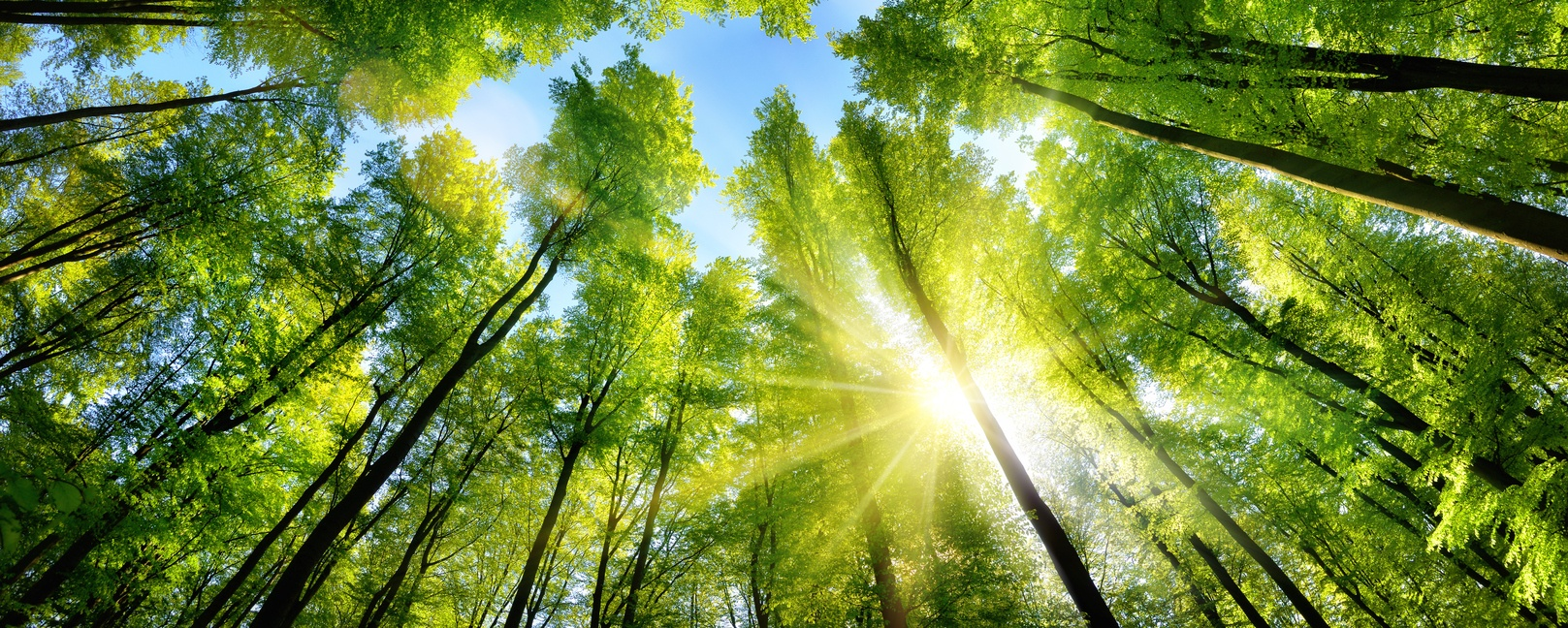 Enchanting-sunshine-on-green-treetops-598057526_1621x650 (1)