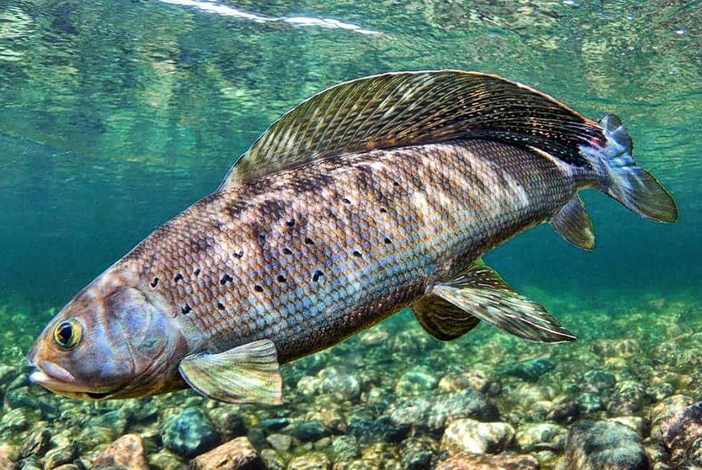 Arctic Grayling Trout