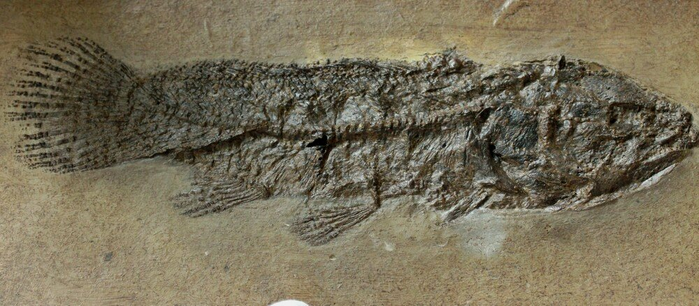 Bowfin Fossil