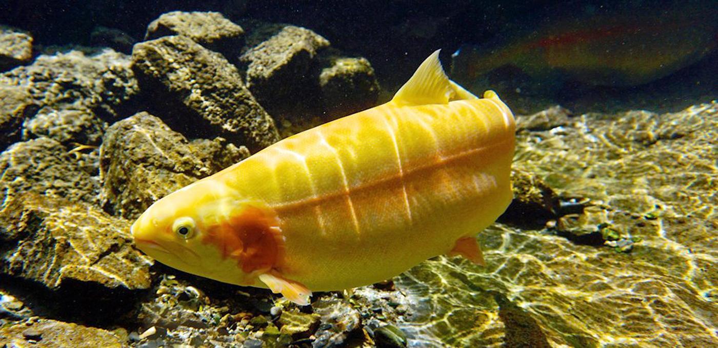 Golden Trout