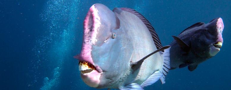 Hump Head Fish