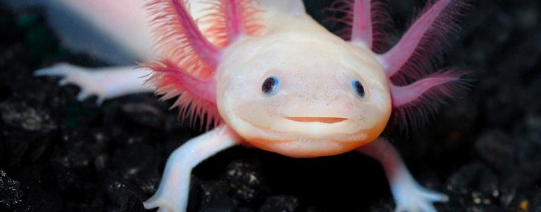 Smiling Salamander
