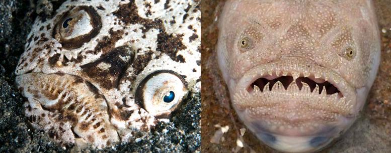 Stargazer Fish-1