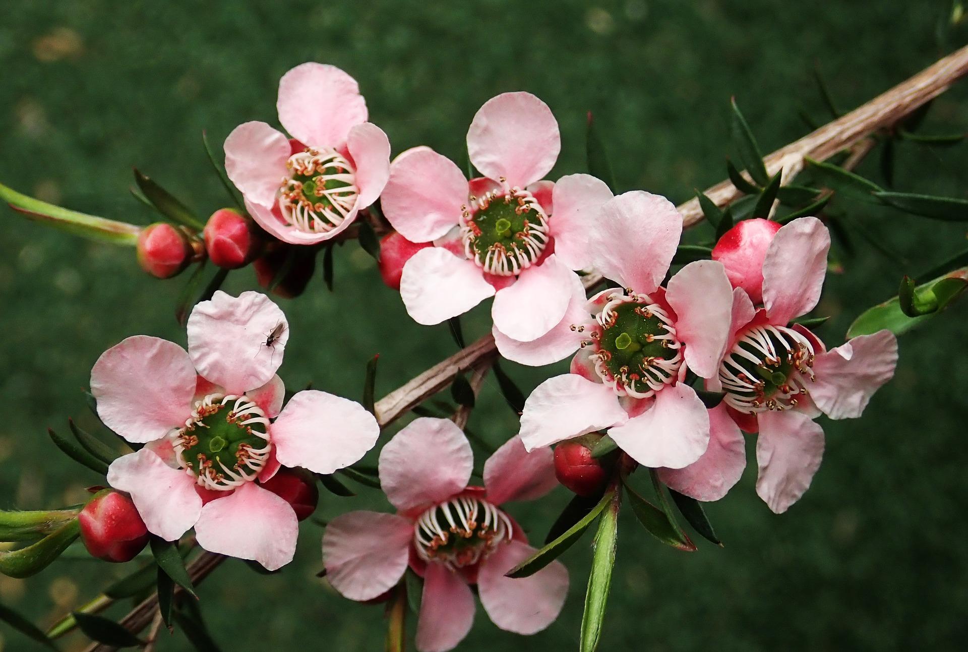 Natural Tea Tree Flowers