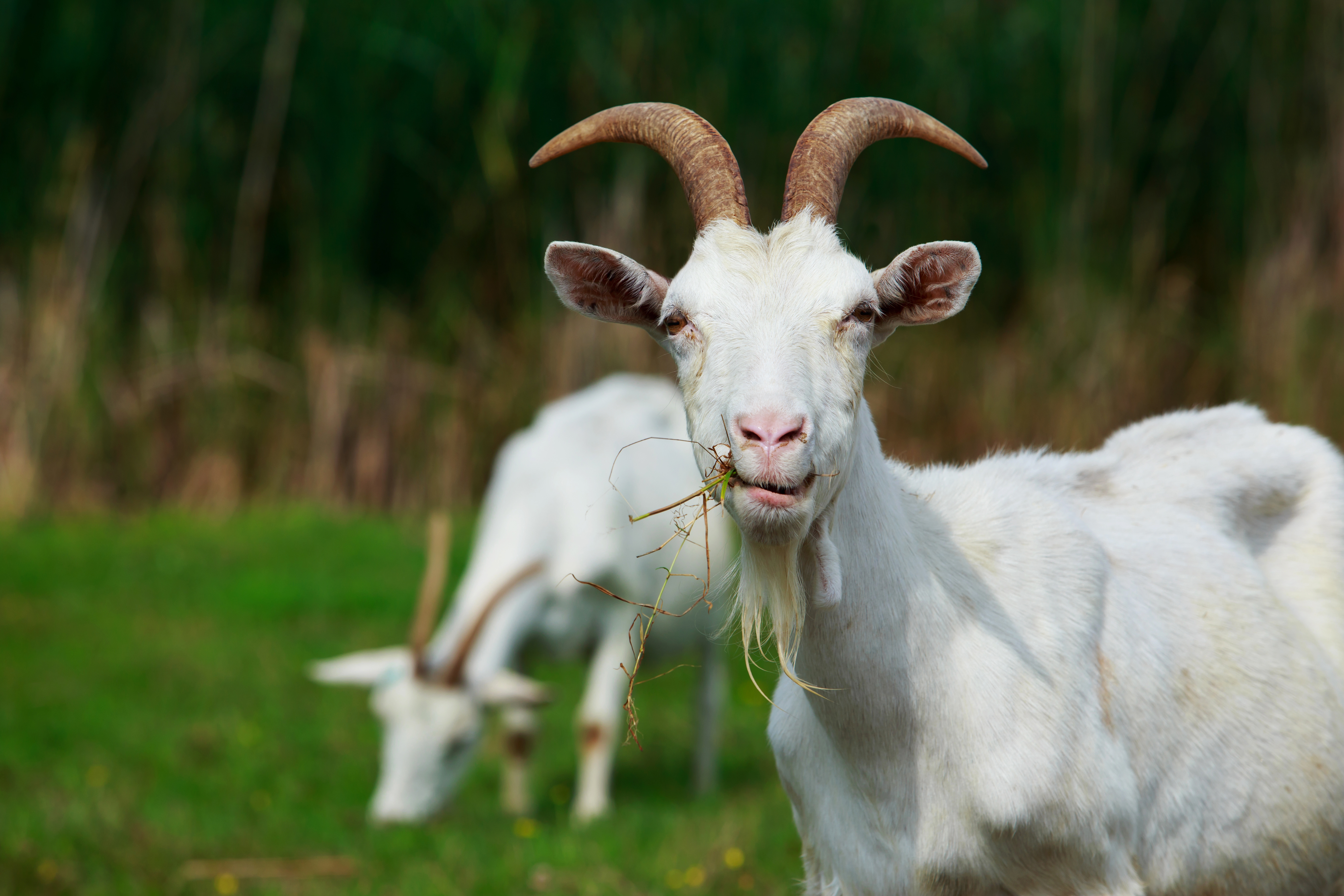 Landscaping Goats