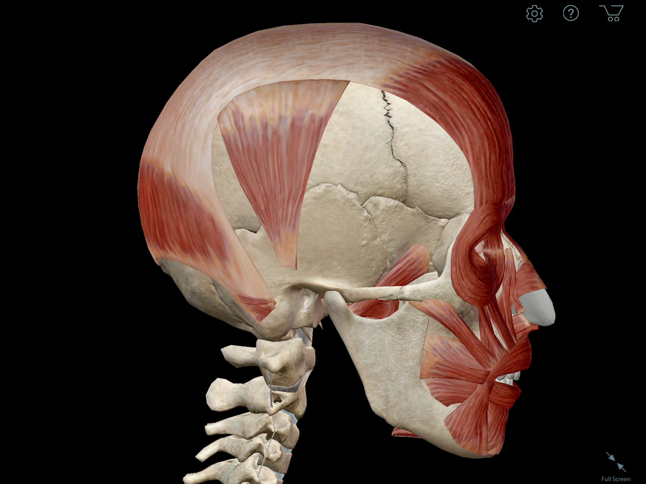 Learn Muscle Anatomy: Occipitofrontalis