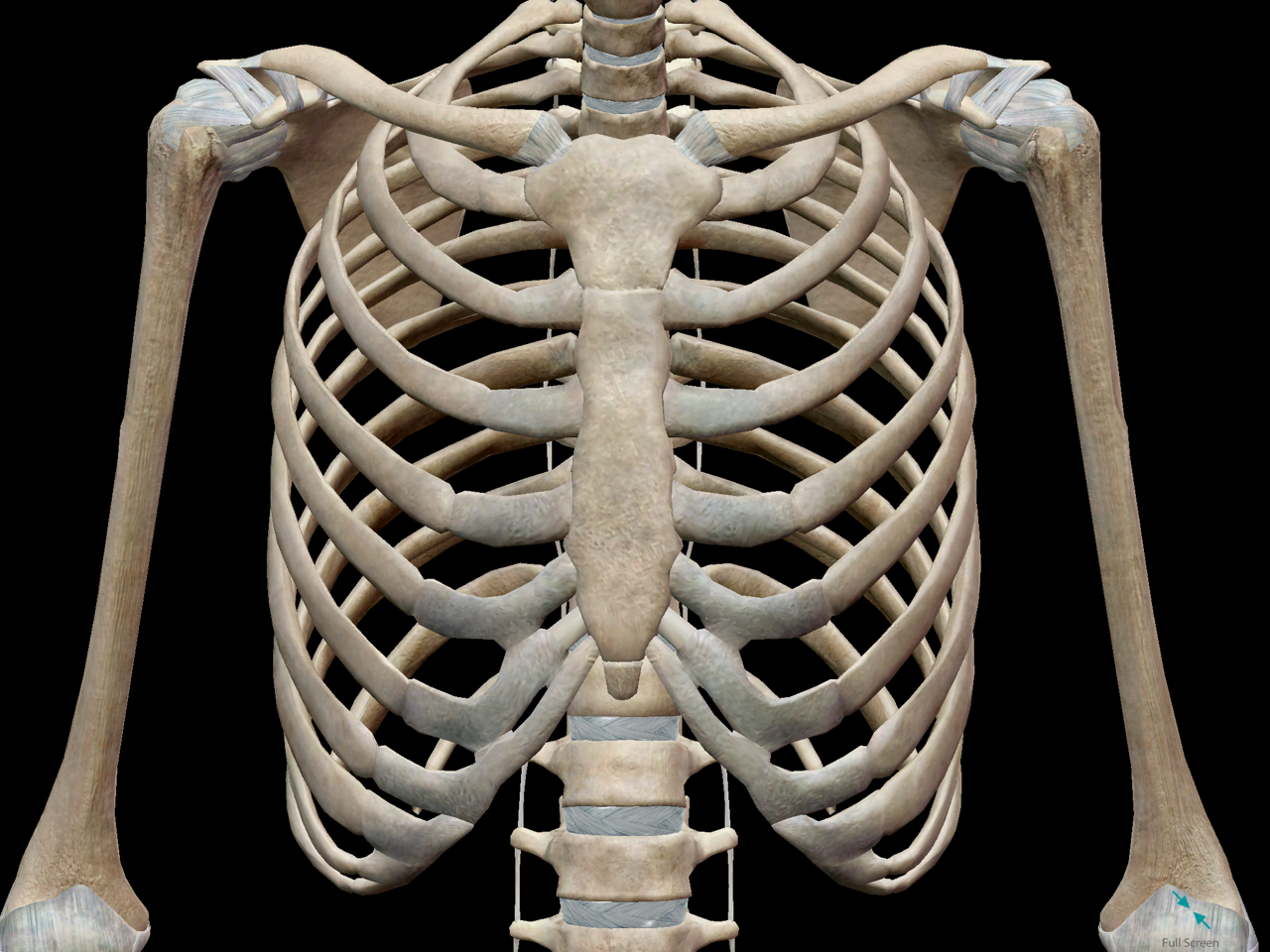 3d skeletal system: bones of the thoracic cage, Skeleton