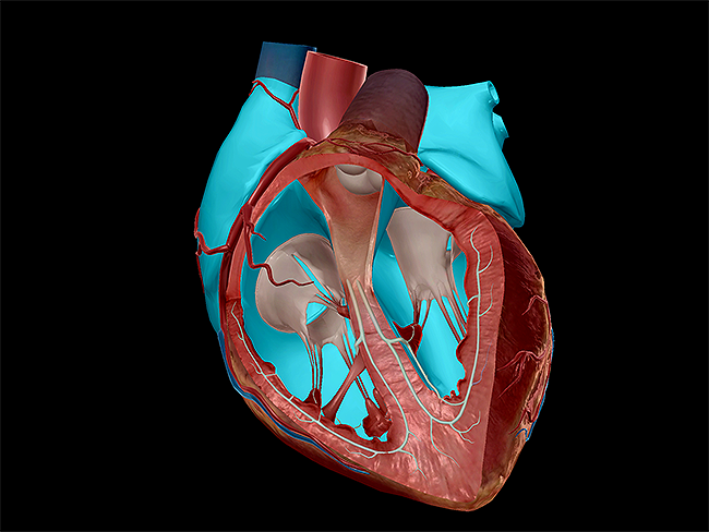 learn heart anatomy: vessels, valves, and chambers (oh my!), Sphenoid