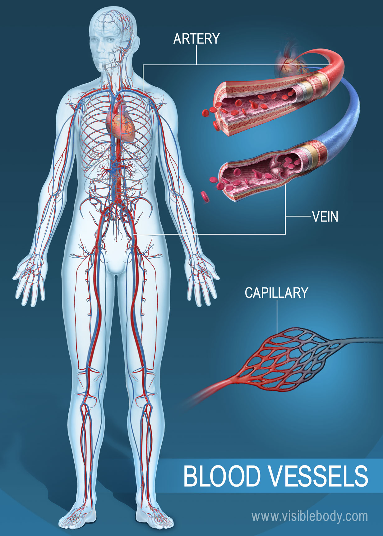 veins and arteries meet at the hanging