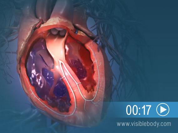 Click to play an animation of the heart through the cardiac cycle