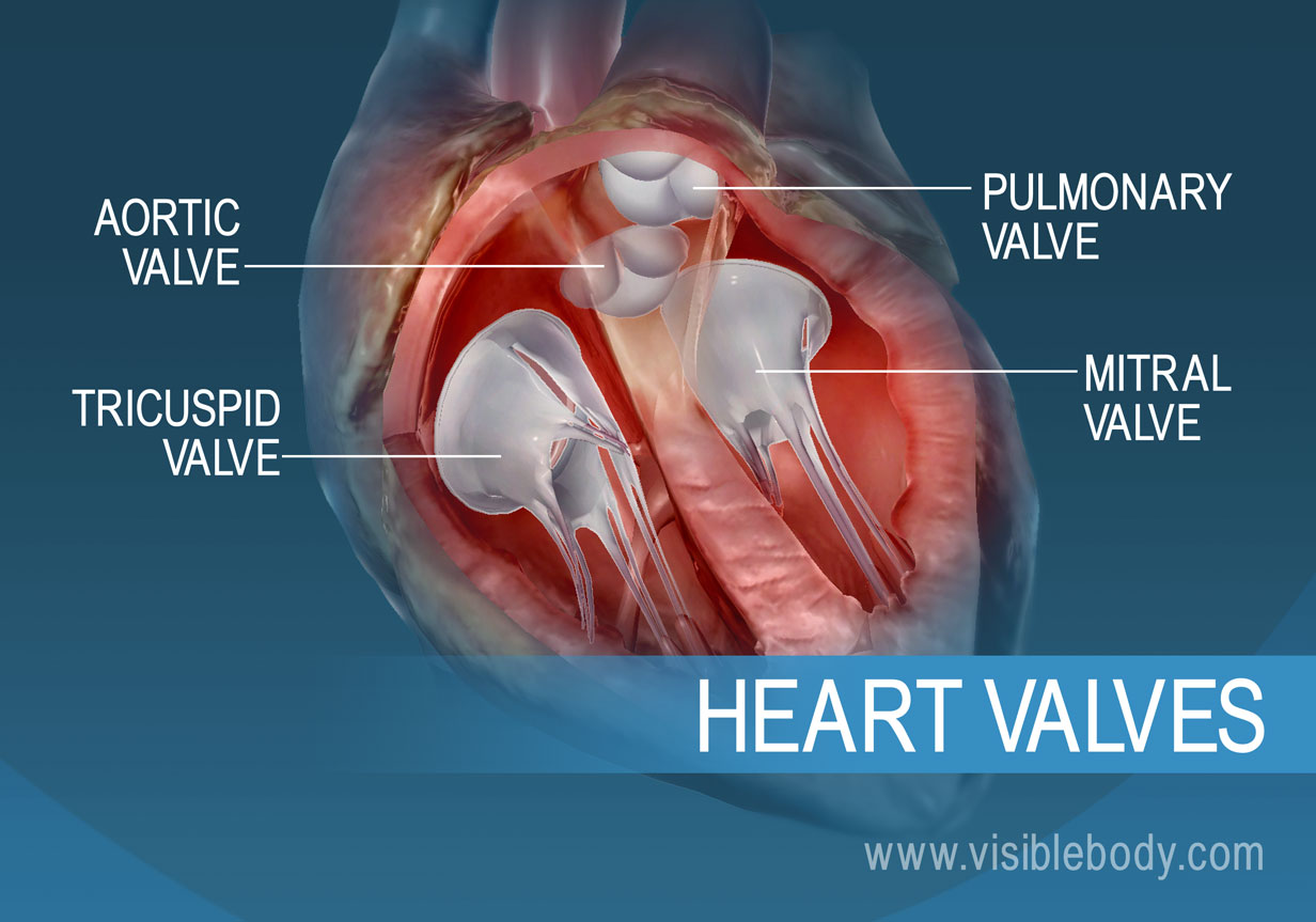 The 4 valves of the human heart