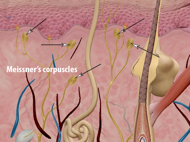epidermal cells meissners corpuscles touch skin integumentary