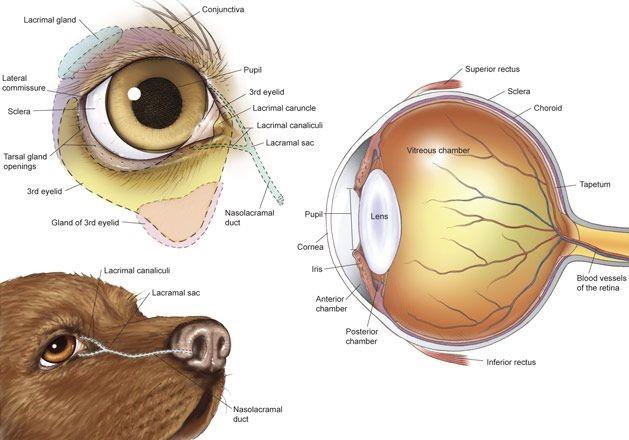 Photo of dog's eye