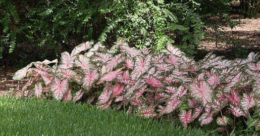 Caladiums Are A Colorful Shade Plant For Atlanta Commercial Real Estate